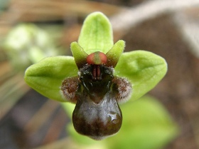 Bumble Bee Orchid by infojardin.com