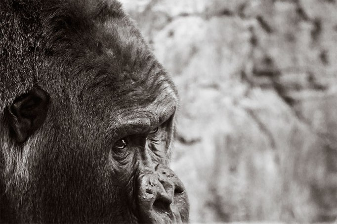 Photograph-BW_gorilla
