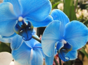 Blue Orchid by garden-share.com