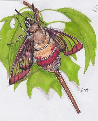Hummingbird moth: found in my backyard!